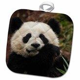 3dRose Danita Delimont - Panda - China, Chengdu Panda Base. Close-up of young giant panda. - 8x8 Potholder (phl_247290_1)