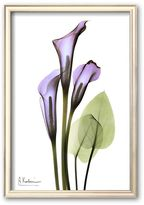 Art.com ''Calla Lilly in Full Bloom'' Framed Art Print by Albert Koetsier