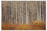 Pottery Barn Aspen Trees Framed Print by Jennifer Meyers