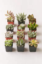 "Urban Outfitters 2"" Live Assorted Succulents - Set of 12"