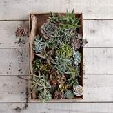 west elm Succulents (Set of 3)