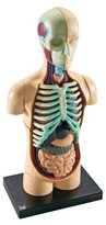 Learning Resources Human Anatomy Model - Body