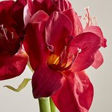 Crate & Barrel Red Amaryllis Flower Stem