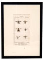 Antique Zoology Print
