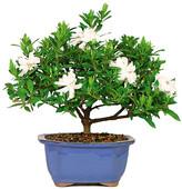 Gardenia Brussel's Bonsai Small