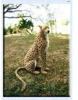 The Well Appointed House Hansa Toys Life Sized Stuffed Cheetah