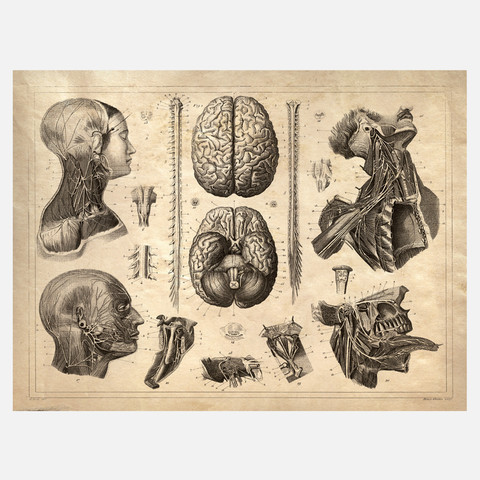 Curious Prints Anatomy Head Print I