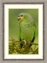 Amanti Art Framed Art Print 'Orange-winged Parrot perching, Amazon rainforest, Ecuador' by Pete Oxford