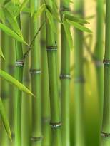 Green Bamboo Phyllostachys Bisettii 2L Pot