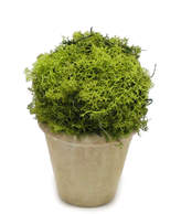 Bougainvillea Reindeer Moss Topiary Ball Ceramic Container