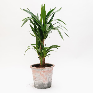 Forest - Yucca House Plant - Green