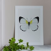 Graham and Green Butterfly Print - Appias Sylvia