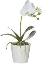Rogue Phalaenopsis Orchid Gloss Pot 30cm