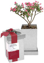 Sur La Table Crepe Myrtle Bonsai Kit