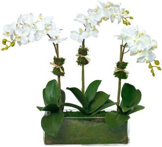 Diane James Phalaenopsis Orchid