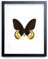 Female Goliath Birdwing (Shadow Box Frame)