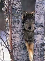 Art.com Gray Wolf Near Birch Tree Trunks, Canis Lupus, MN Photographic Print By William Ervin - 23x30 cm