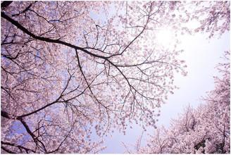 """Japanese Cherry Blossoms"" Aluminum Wall Art by Aluminyze, 20x30"