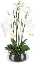 SIA Potted Phalaenopsis Orchid