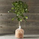 Williams-Sonoma Williams Sonoma Dwarf Bare-Root Meyer Lemon Tree