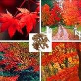 BML [Free Shipping] 20pcs Sugar Maple Tree Seeds Canada Acer Saccharum Seeds // 20pcs graines d'arbres de sucre d'érable graines d'acer saccharum