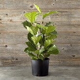Williams-Sonoma Williams Sonoma Fiddle Leaf, Small