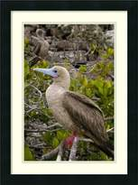 Amanti Art Framed Art Print 'Red-footed Booby , Tower Island, Galapagos Islands, Ecuador' by Pete Oxford