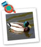 3dRose LLC qs_6565_10 SmudgeArt Bird Artwork Designs - Mallard Duck - Photography - Quilt Squares