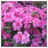 Cottage Hill Nursery Star Roses and Plants® Floramore Azalea 'Lavender', 1 Piece, 2.25 Gallon Repeat Blooming Plant. U.S.D.A. Hardiness Zones 7 - 9