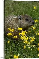 Canvas On Demand Premium Thick-Wrap Canvas Wall Art Print entitled Groundhog sitting in summer patch of yellow Birdsfoot Trefoil, Canada