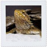 3dRose qs_83713_3 Bearded Dragon Lizard-Na02 Dfr0024-David R. Frazier-Quilt Square