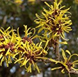 Witch Hazel Extract 1L