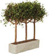 OKA Angel Vine Pleached Tree