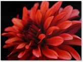 "Dahlia Trademark Global 'Red Dahlia' Canvas Print by Kurt Shaffer, 24"" x 32"""