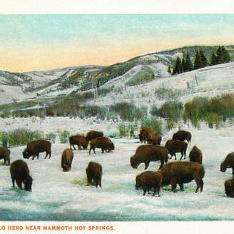 "Buffalo David Bitton Lantern Press ""View of Herd Near Mammoth Hot Springs"" Print, 24""x36"""