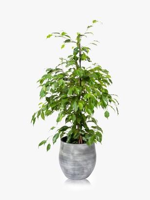 The Little Botanical Large Ficus Benjamina Ceramic Pot Plant