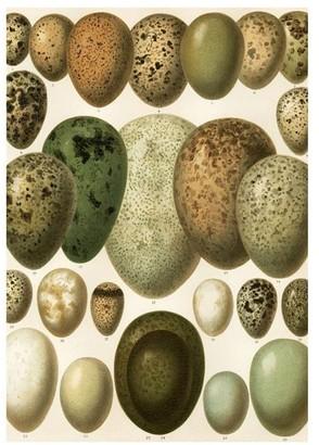 The Dybdahl Co. European Eggs Print