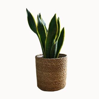 Olive Jennings Jacob Plant Basket