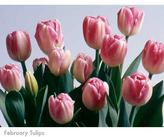 February Plant of the Month: Pink Tulips