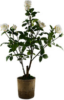 SIA Potted Roses - White