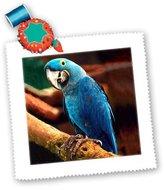 3dRose LLC qs_954_1 Birds - Hyacinth Macaw - Quilt Squares