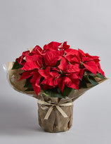 Marks and Spencer Large Christmas Gift Wrapped Poinsettia