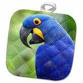 3dRose Danita Delimont - Birds - Brazil, Pantanal, endangered Hyacinth Macaw, birds - SA04 KWI0095 - Kymri Wilt - 8x8 Potholder (phl_85754_1)