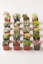 """Urban Outfitters 2"""" Live Assorted Succulents - Set of 20"""