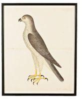 Falcon Decoy Print