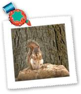 3dRose LLC qs_54410_5 Beverly Turner Squirrel Photography - Red Squirrel - Quilt Squares