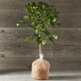 Williams-Sonoma Williams Sonoma Dwarf Bare-Root Meyer Lemon Tree