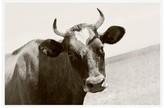 Pottery Barn Horned Cow Framed Print by Jennifer Meyers
