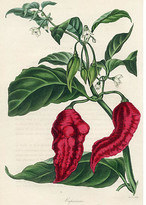 One Kings Lane Vintage Chili Pepper - 1838 - Prints with a Past - red/green/white