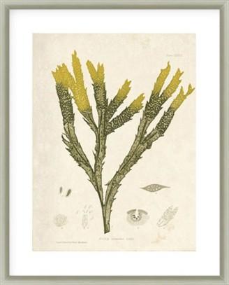 La Grolla Fucus Serratus Framed Print